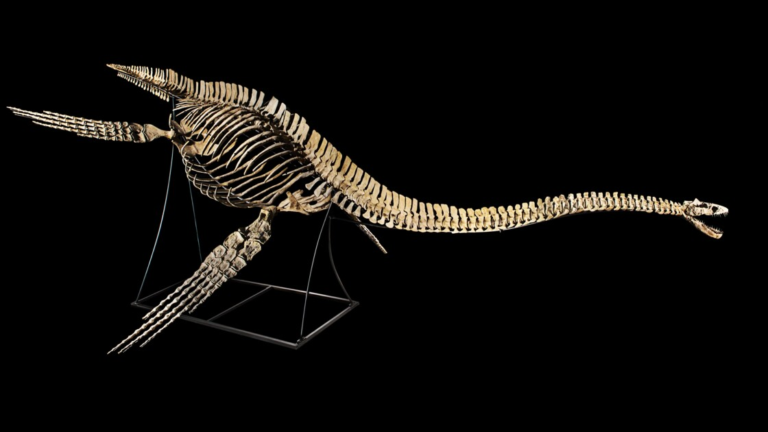 Enchères: le squelette d'un dinosaure marin retiré d'une vente à Paris