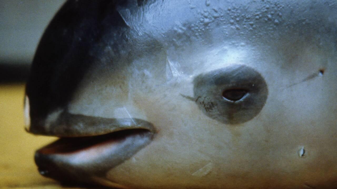 Mexique: découverte d'un cadavre de bébé marsouin