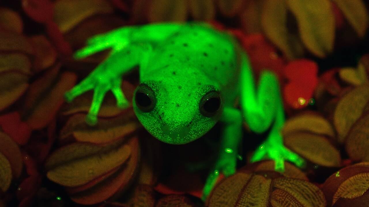 Une grenouille fluo qui révolutionne la connaissance sur la fluorescence