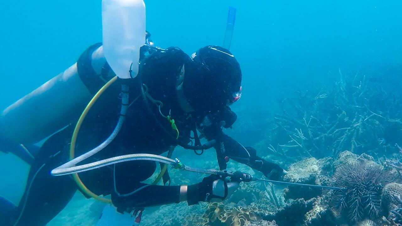 Un gastéropode géant pour défendre la Grande barrière contre les étoiles de mer