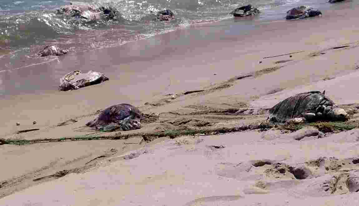 Des centaines de tortues trouvées mortes dans le Pacifique mexicain
