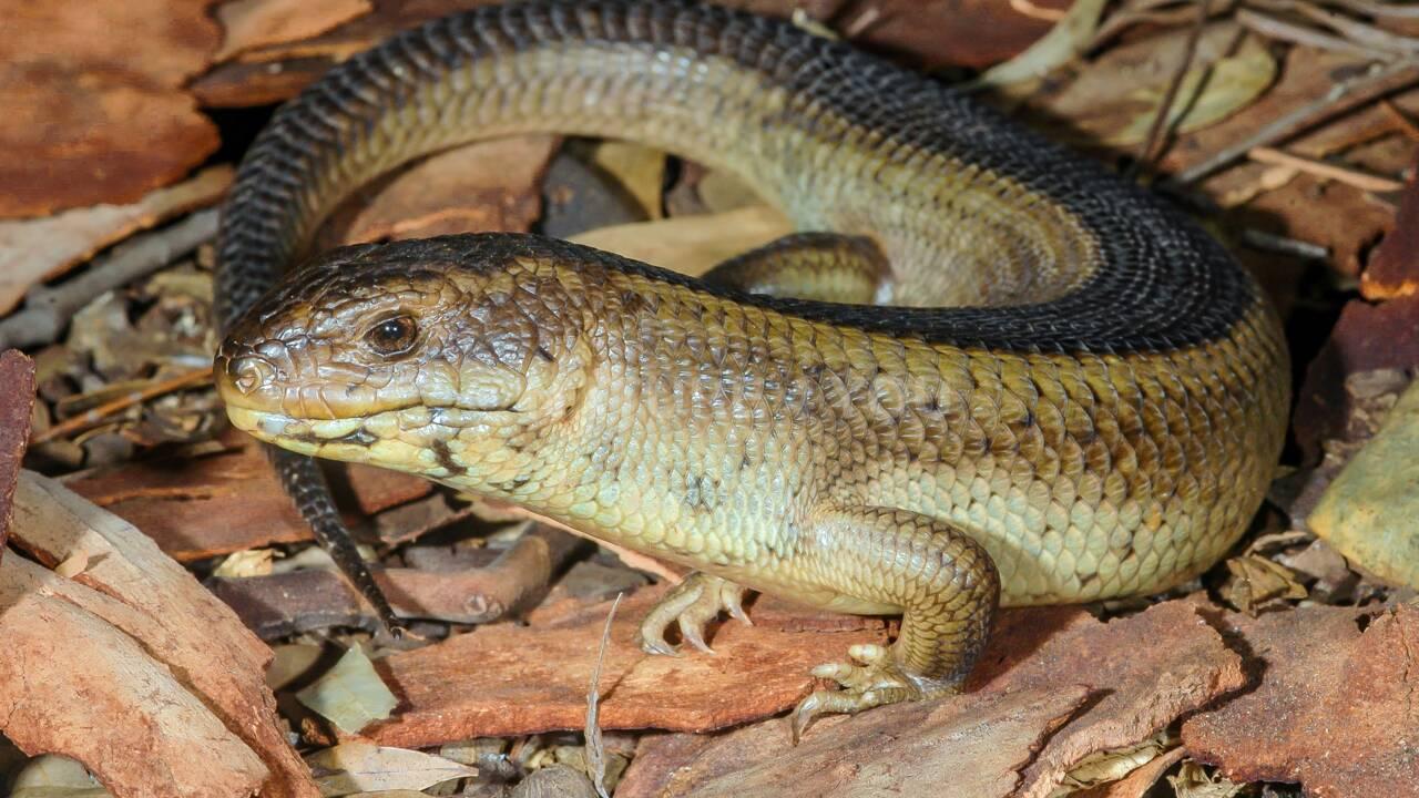 Australie: un tiers des espèces menacées ne font l'objet d'aucun suivi