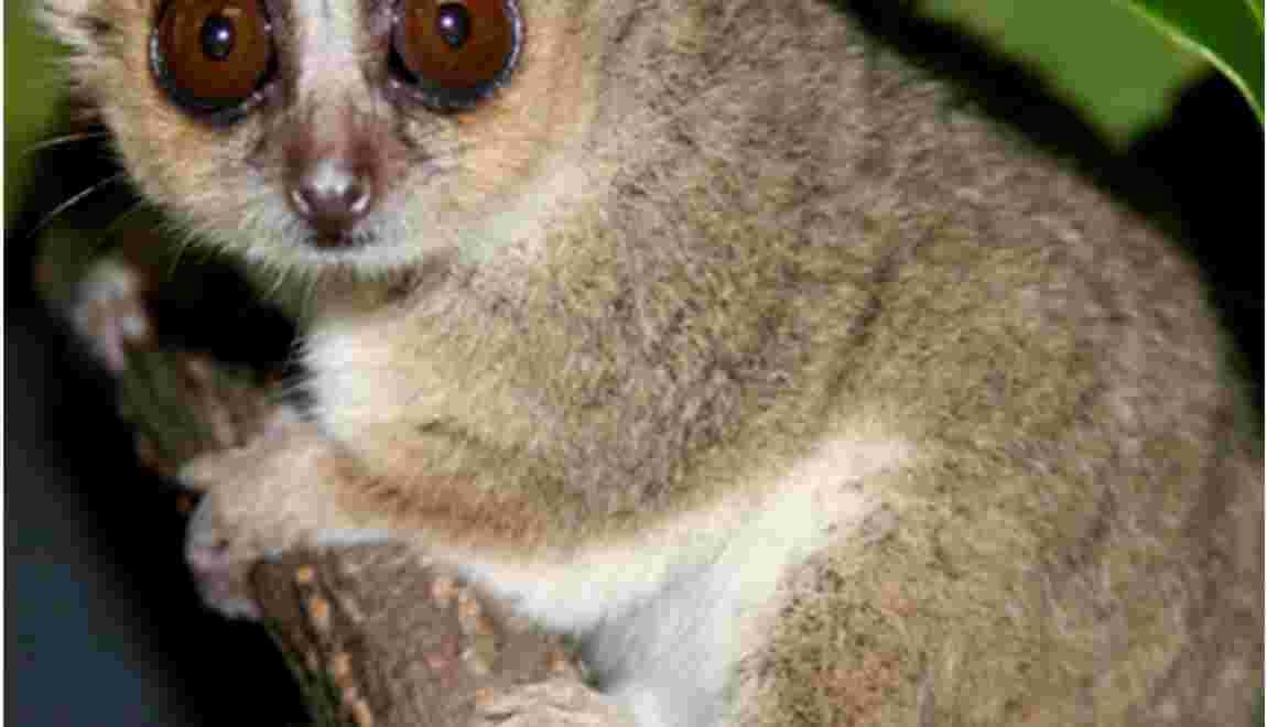 Au régime, les lémuriens vivent plus longtemps