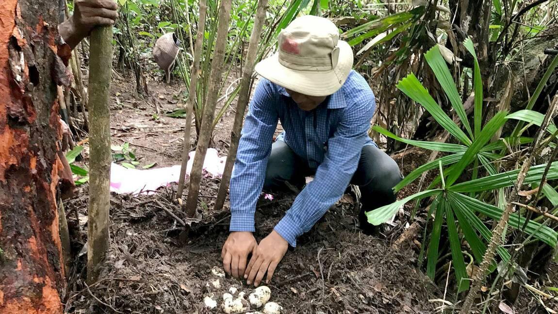 Cambodge: découverte d'œufs de crocodiles en voie d'extinction