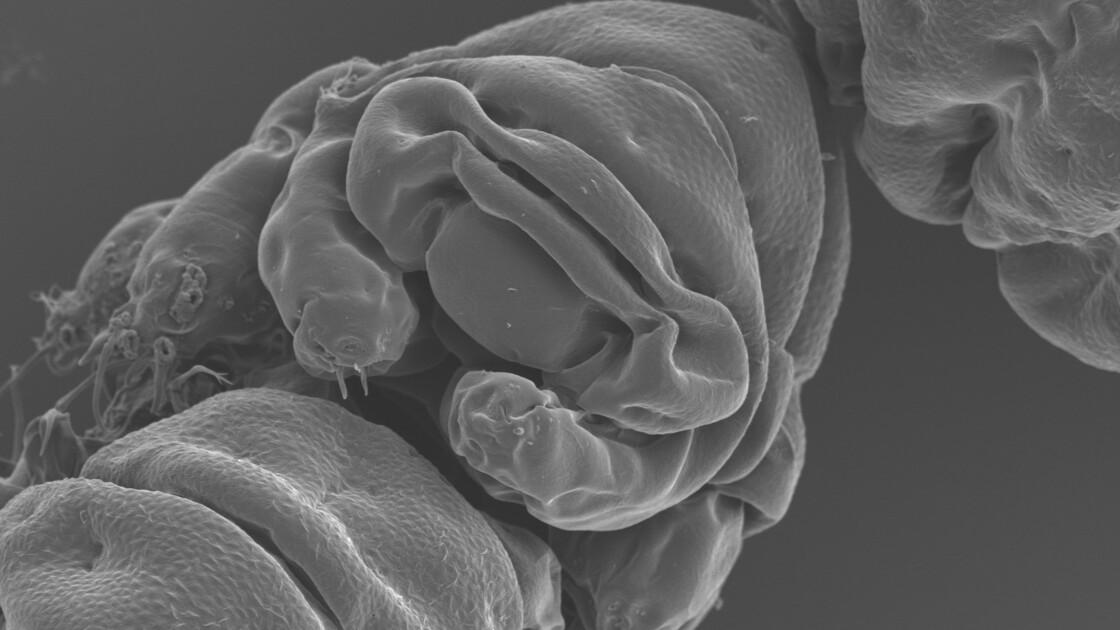 Le tardigrade, un superchampion qui n'a rien à craindre des astéroïdes