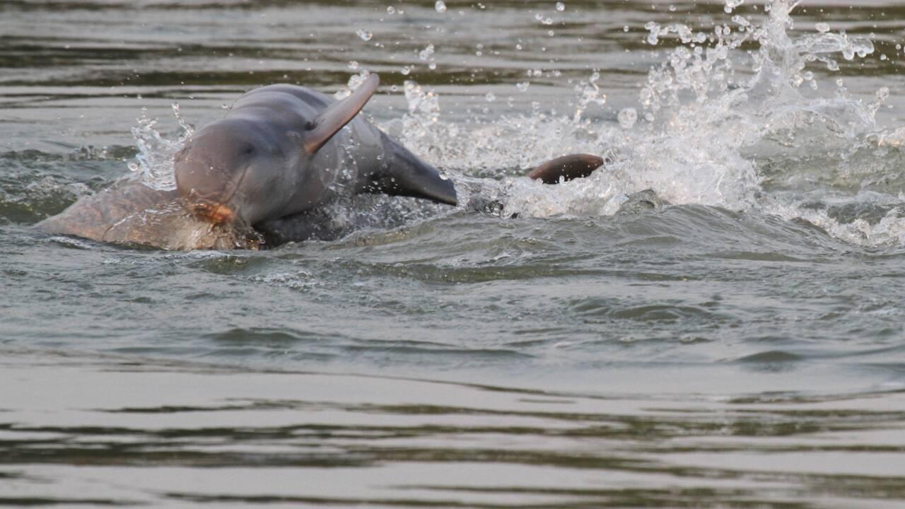Cambodge : les dauphins de l'Irrawaddy toujours menacés mais plus nombreux