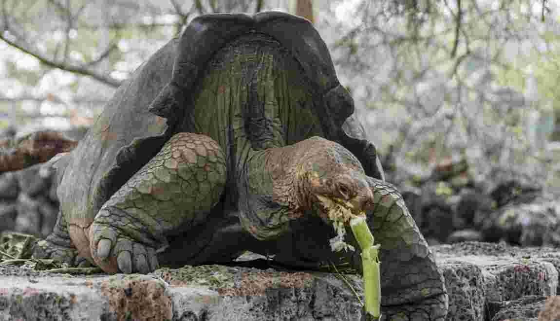 Aux Galapagos, un programme de reproduction pour des tortues éteintes