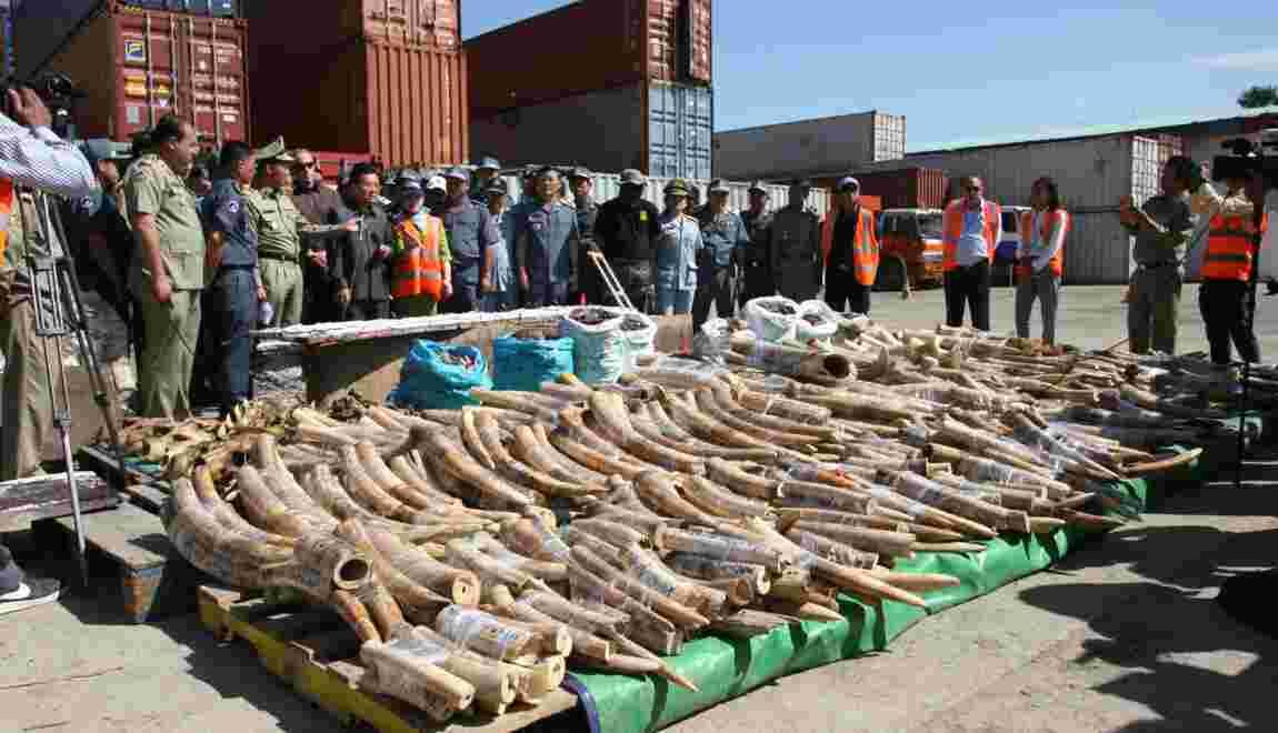 Cambodge: énorme saisie d'ivoire