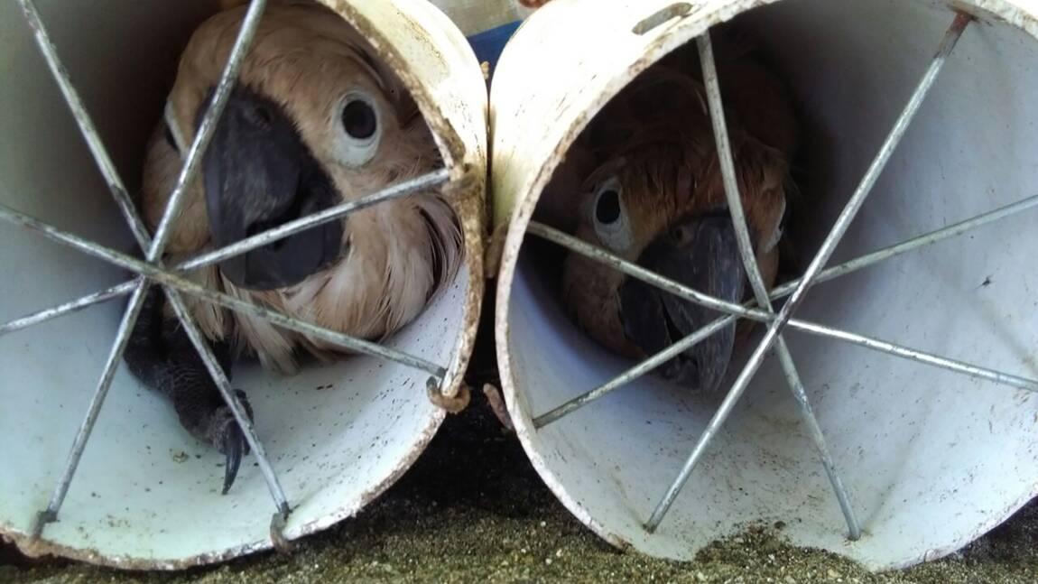 Indonésie: des oiseaux exotiques dissimulés dans des tuyaux