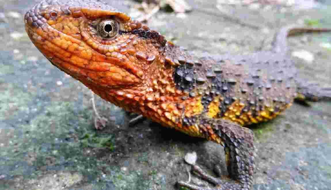 Crocodile lézard et tortue mangeuse d'escargot, nouvelles espèces en Asie