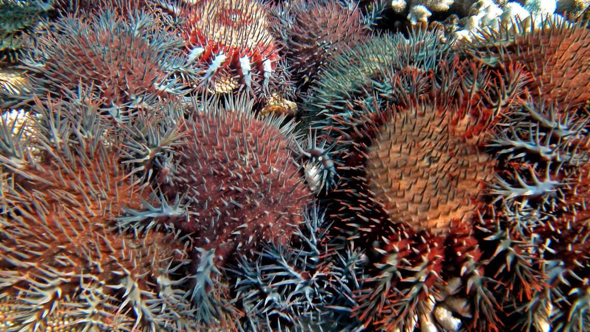 Un gastéropode géant contre l'étoile de mer dévoreuse de coraux