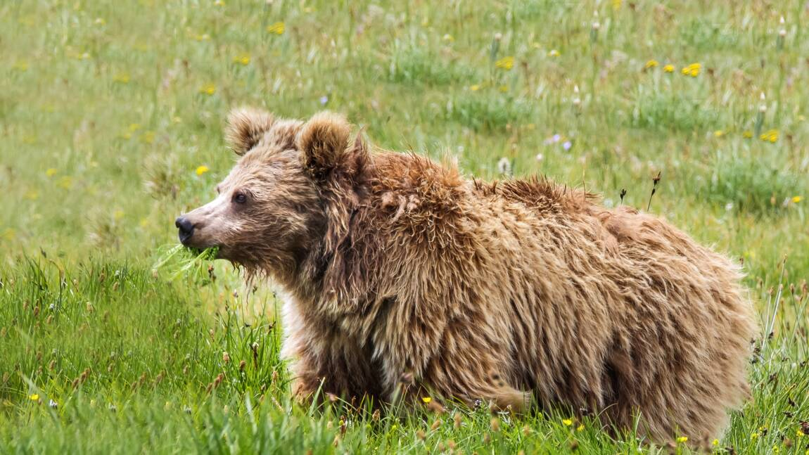 Le Yéti ? Un ours des hautes montagnes de l'Asie, selon des analyses ADN