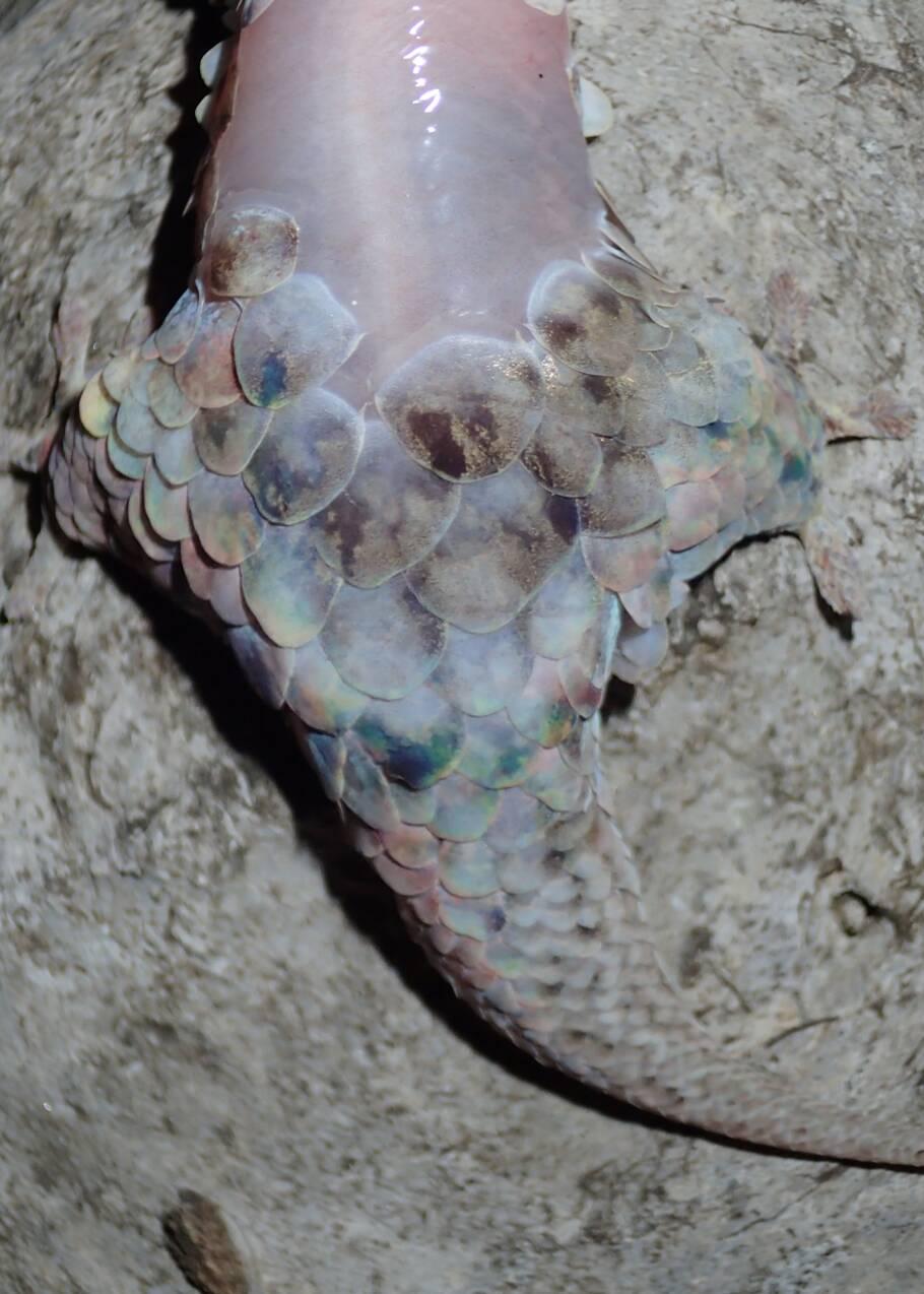 Découverte d'une nouvelle espèce de gecko aux propriétés étonnantes