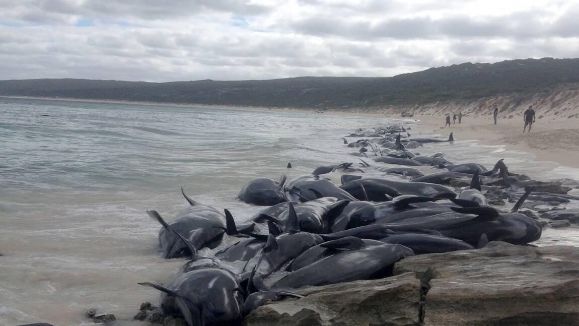 Australie: 135 dauphins-pilotes meurent échoués