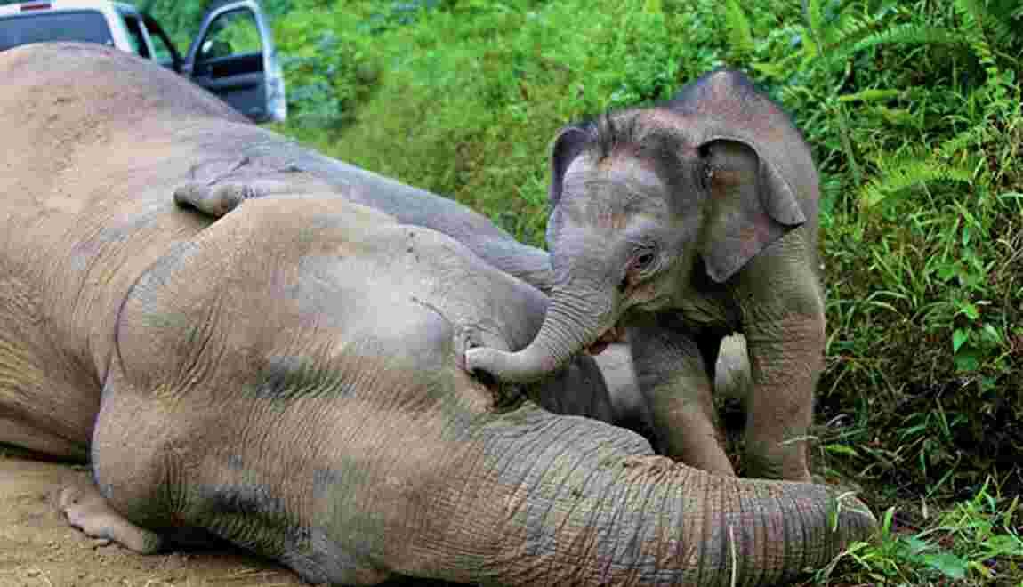 Malaisie: six éléphants pygmées retrouvés morts à Bornéo