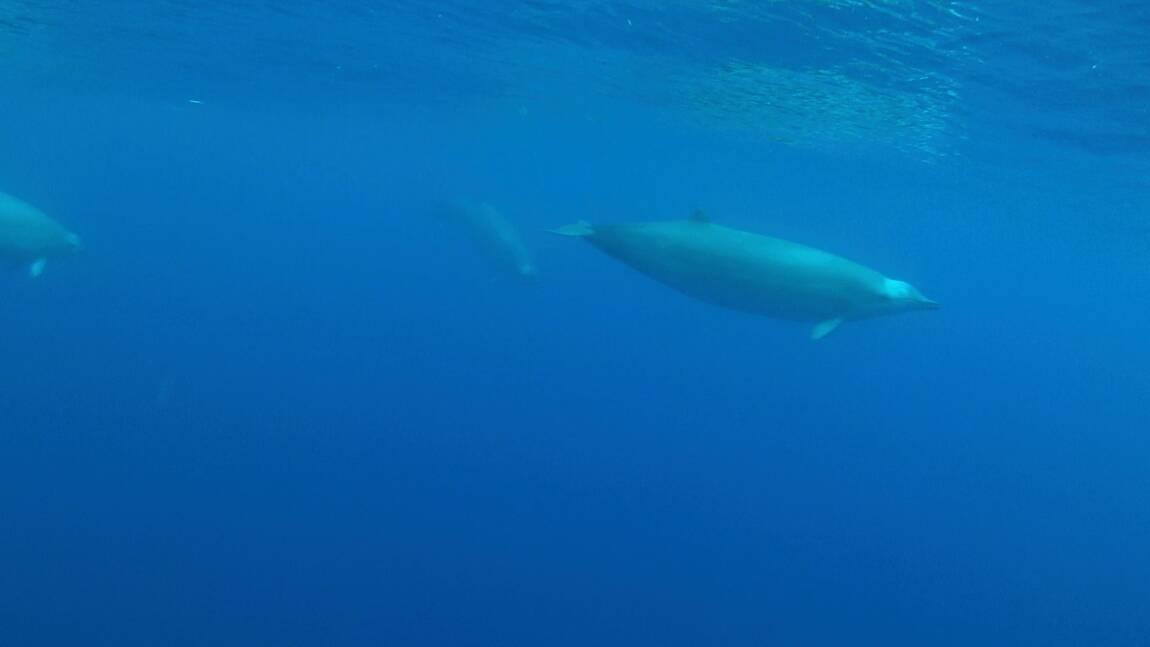 Une espèce de baleine mal connue filmée pour la première fois