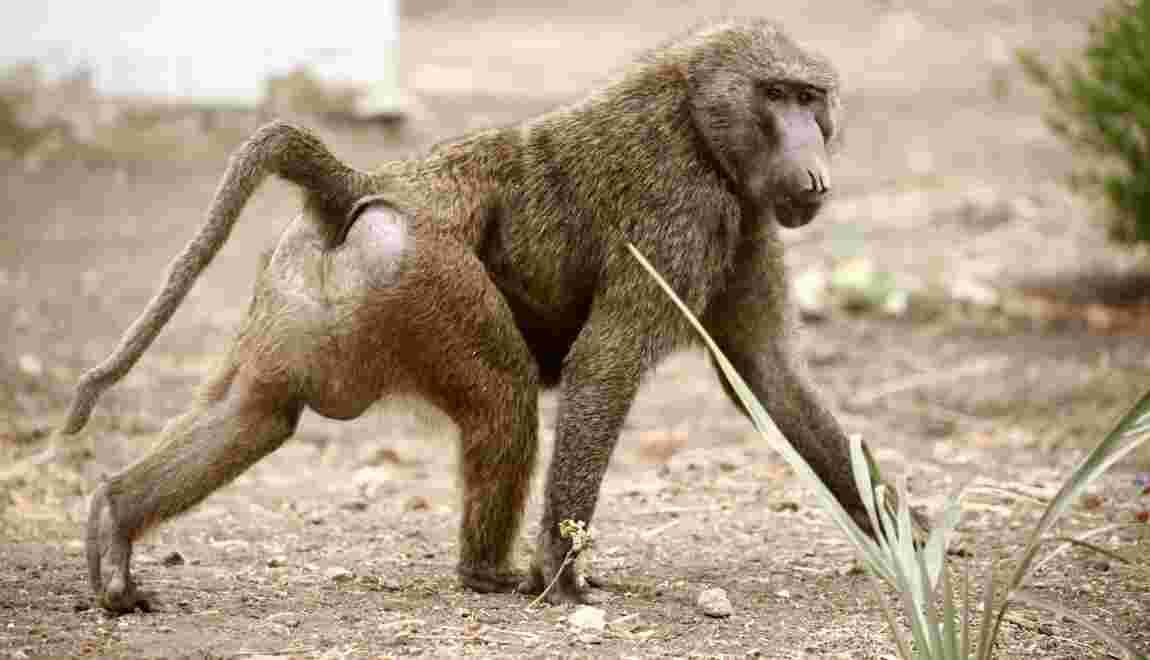Au Texas, des babouins s'échappent d'un institut de recherche biomédicale