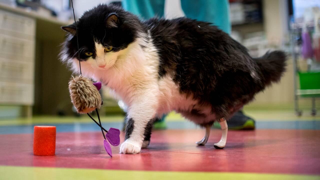 """En Bulgarie, un chat """"bionique"""" doté de pattes artificielles"""