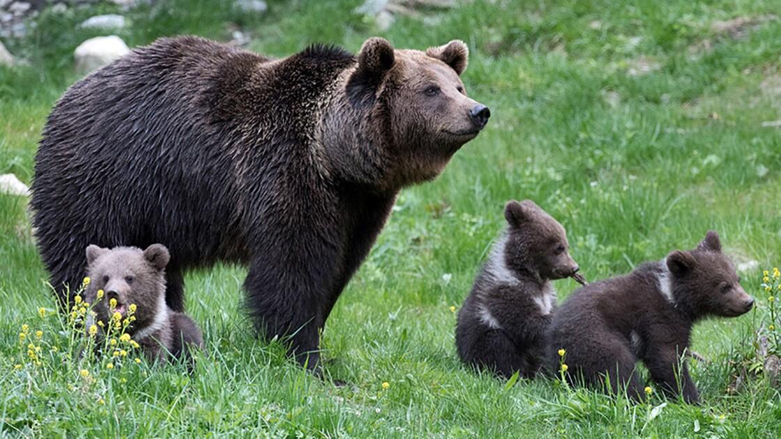 Réintroduction de l'ours dans les Pyrénées-Atlantiques : la consultation publique est ouverte