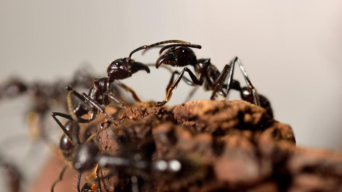 Les fourmis ont un GPS sophistiqué permettant un guidage même à reculons