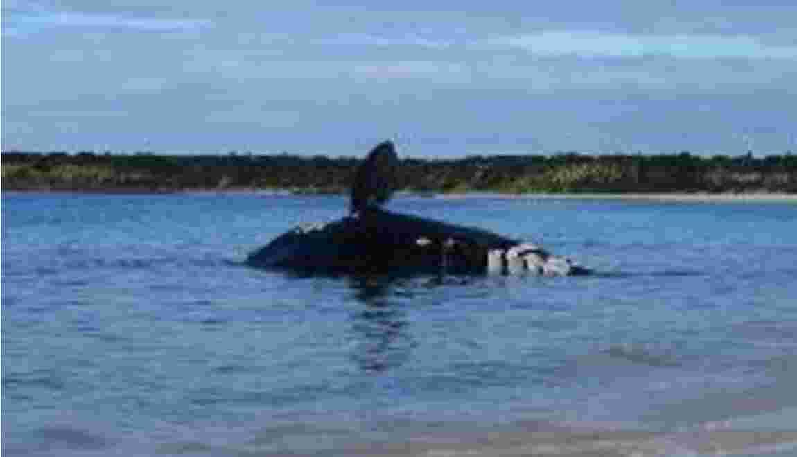 Pic de mortalité chez les baleines franches: le Canada et les Etats-Unis enquêtent