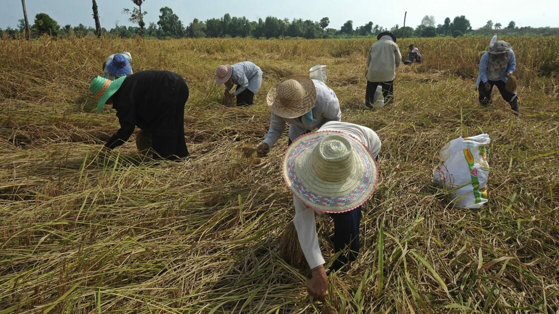 """La Thaïlande """"restreint"""" seulement l'usage d'herbicides controversés"""