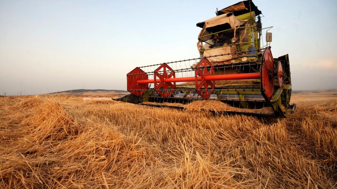 Deux nouvelles maladies du blé détectées, la Méditerranée  affectée