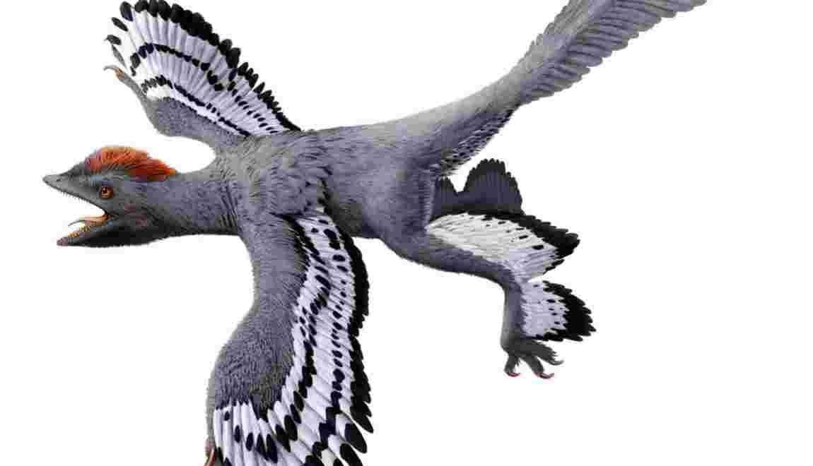 Ce dinosaure à plumes qui avait déjà tout d'un oiseau