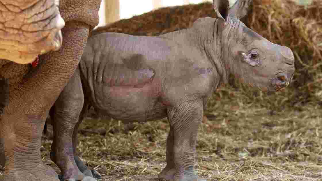Naissance d'un petit rhinocéros blanc au zoo d'Amnéville