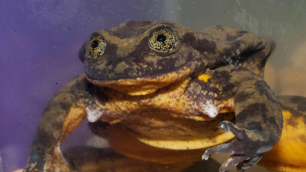 Romeo, dernière grenouille de son espèce, désespère de trouver sa Juliette