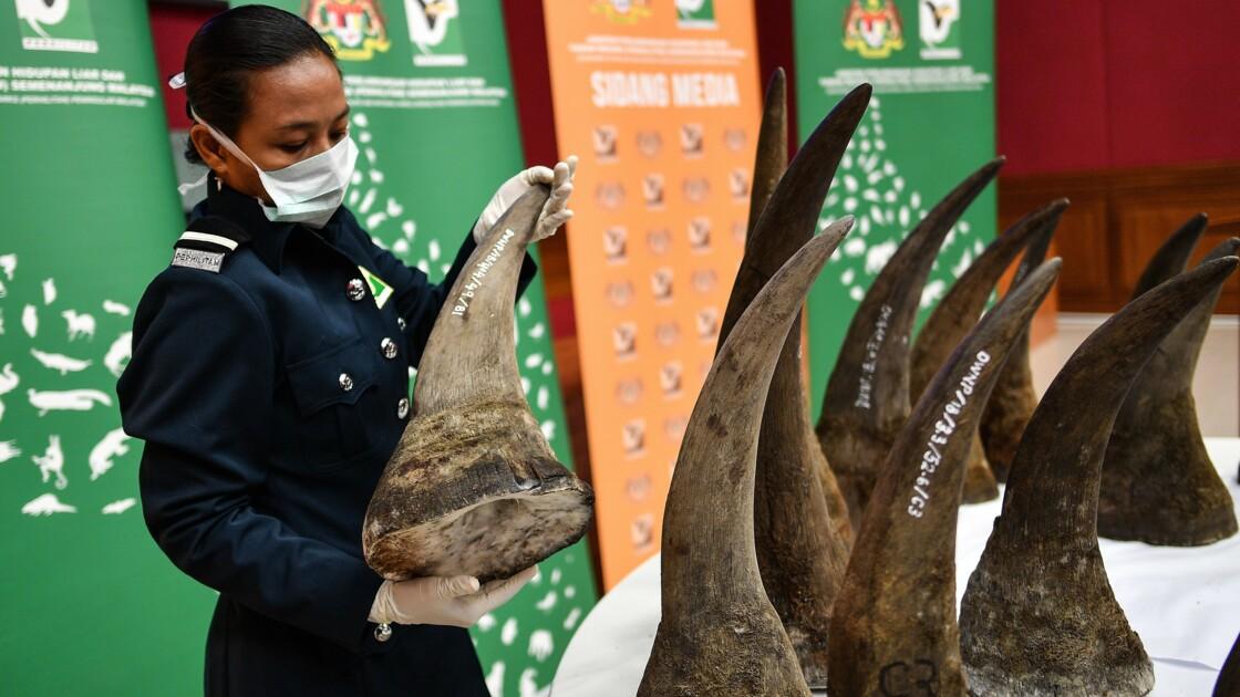 Malaisie : saisie record de cornes de rhinocéros