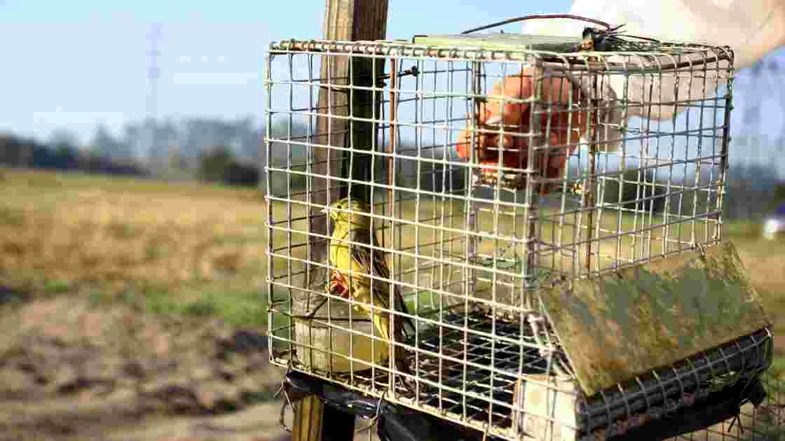 Ortolan: nouveau rejet de pourvois en cassation de chasseurs