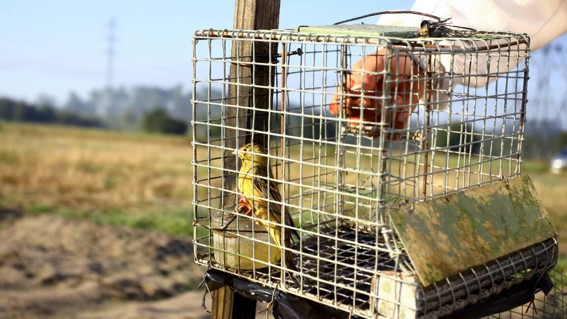 Chasse à l'ortolan : onze chasseurs condamnés à des amendes