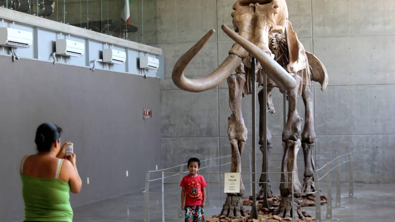 En se raréfiant, le mammouth a subi des mutations génétiques néfastes