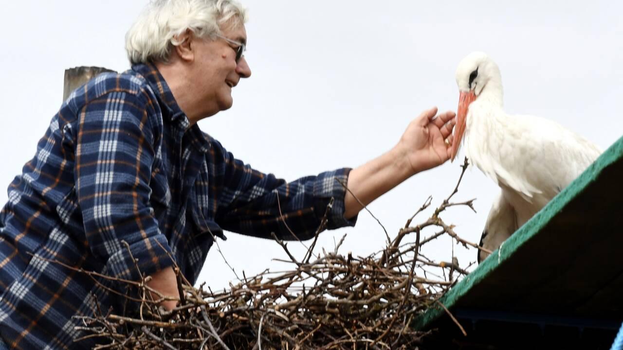 En Croatie, des cigognes fidèles au-delà des continents