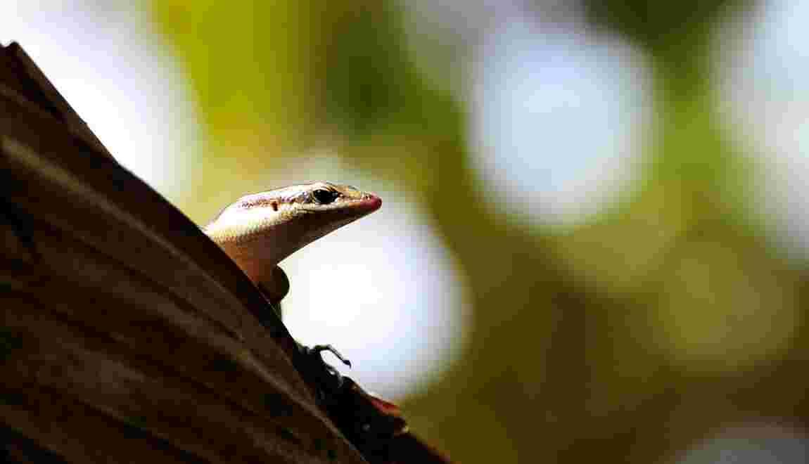 Trois rares espèces de lézards d'une île australienne ont disparu à l'état sauvage