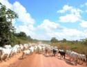 Brésil: la forêt continue de reculer devant l'élevage