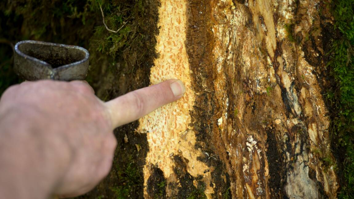 Maladie du frêne : l'Inra lance un appel pour l'aider au repérage