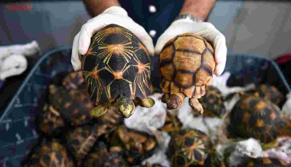 Saisie de tortues menacées à l'aéroport de Kuala Lumpur