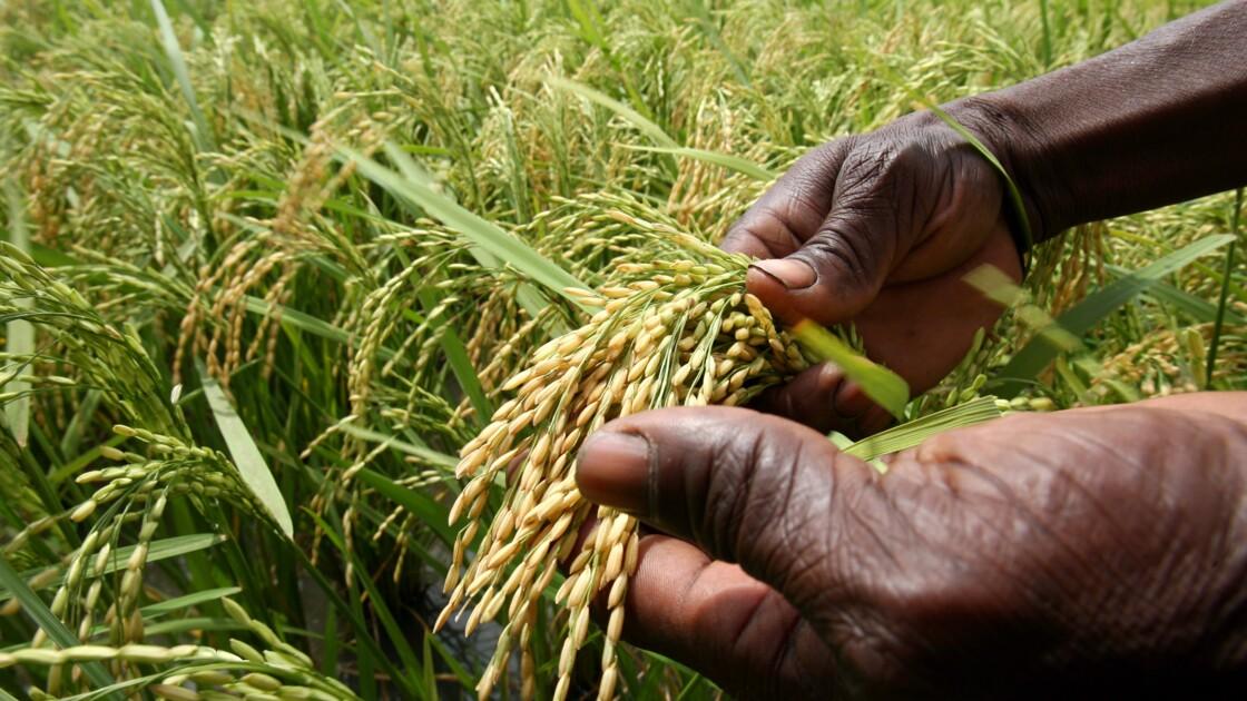 Domestiqué il y a 3.000 ans, le riz africain regarde vers l'agriculture du futur