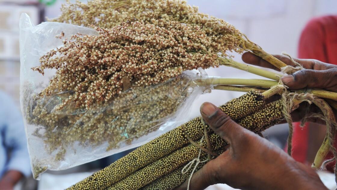 Le génome du mil, la céréale des terres arides, séquencé pour la première fois
