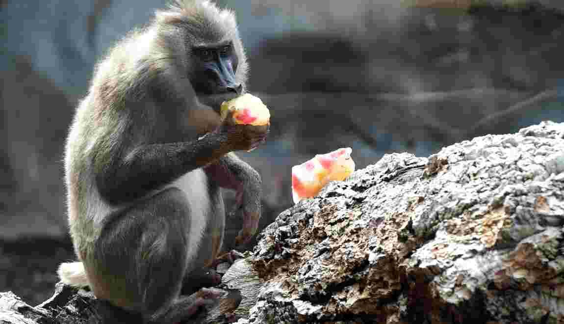 [ɨ æ ɑ ɔ u] ... les babouins vocalisent les sons des voyelles