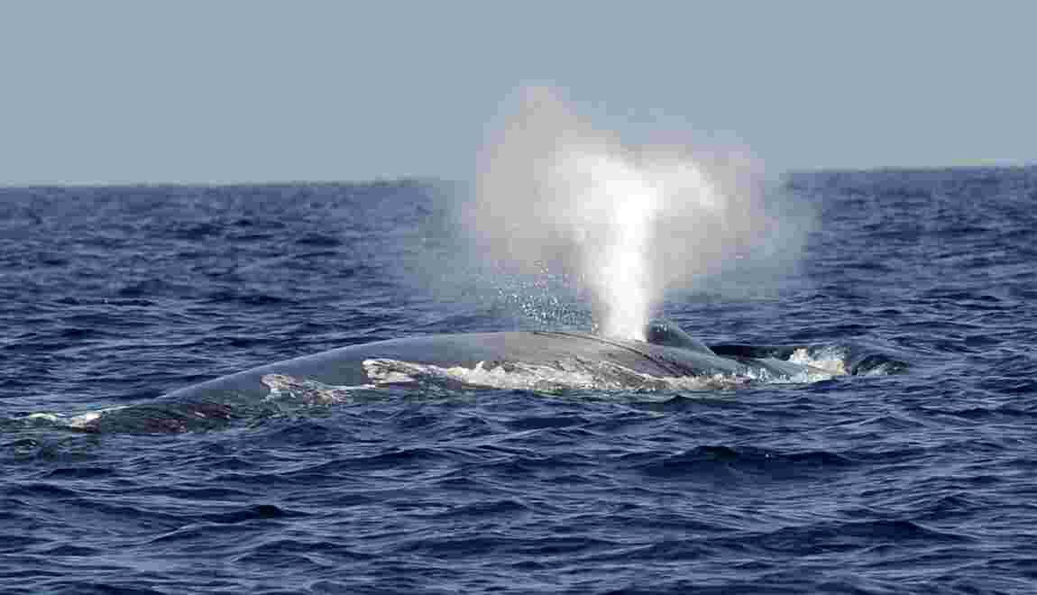 Les baleines bleues sont surtout droitières devenant parfois gauchères pour chasser