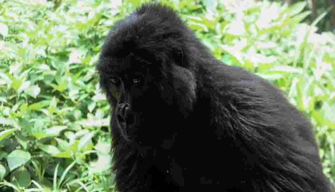 Amour et kalachnikovs au secours des gorilles des montagnes congolais