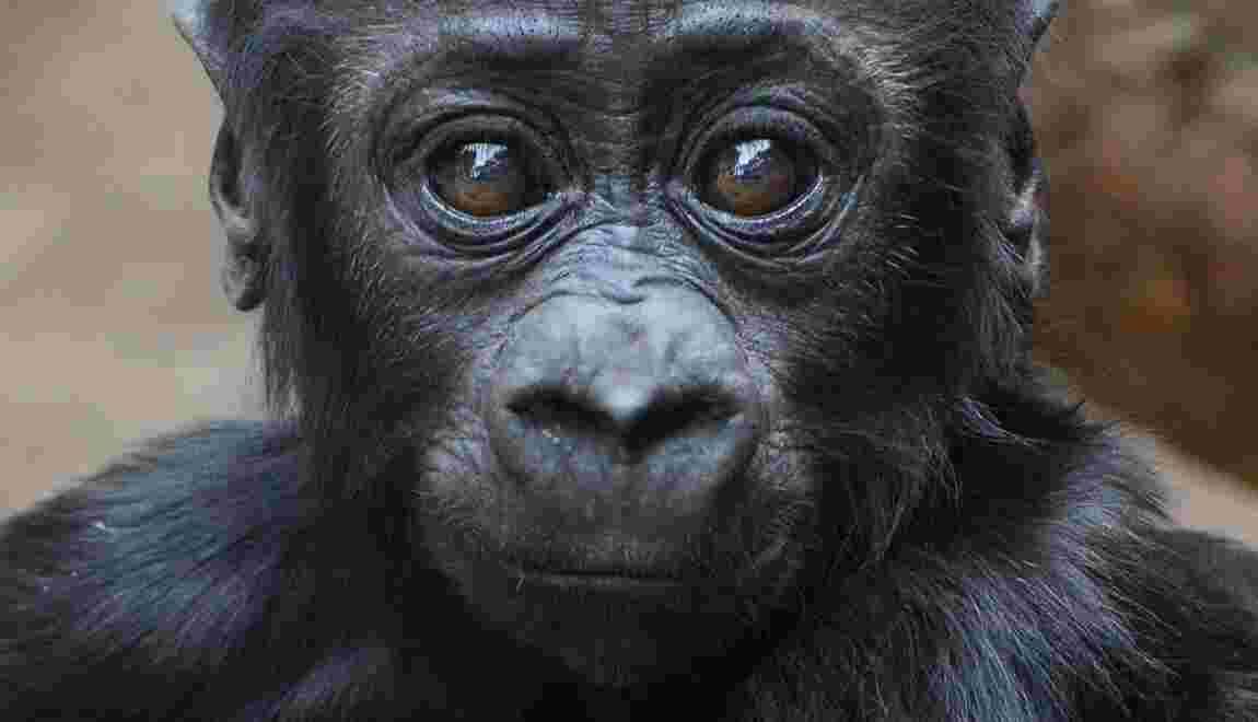 Quelque 60% des primates menacés d'extinction
