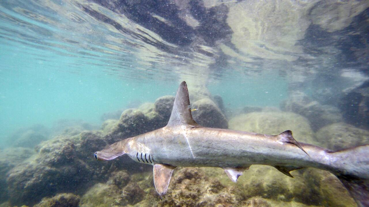 Aux Galapagos, une pouponnière secrète de requins marteaux