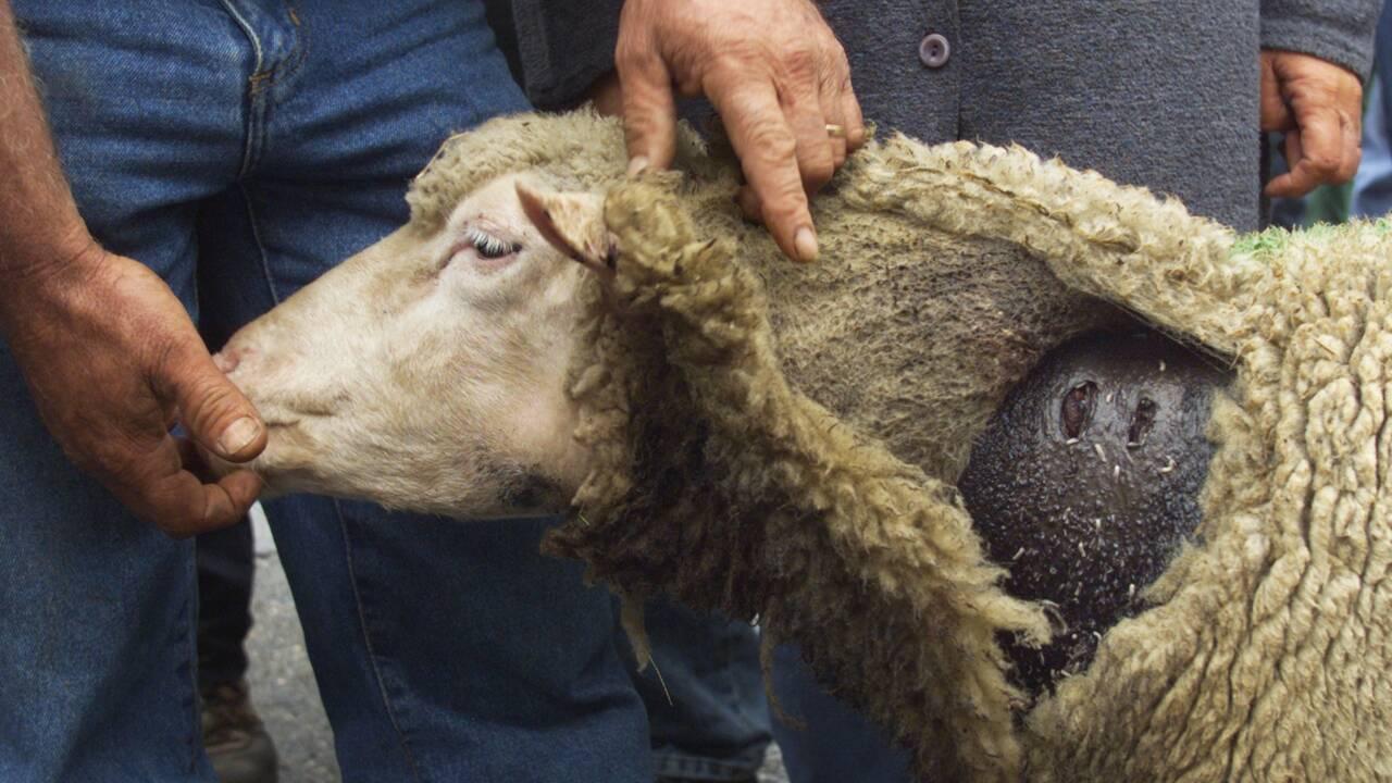"""Loup: l'État souhaite """"infléchir la courbe"""" du nombre de brebis tuées"""