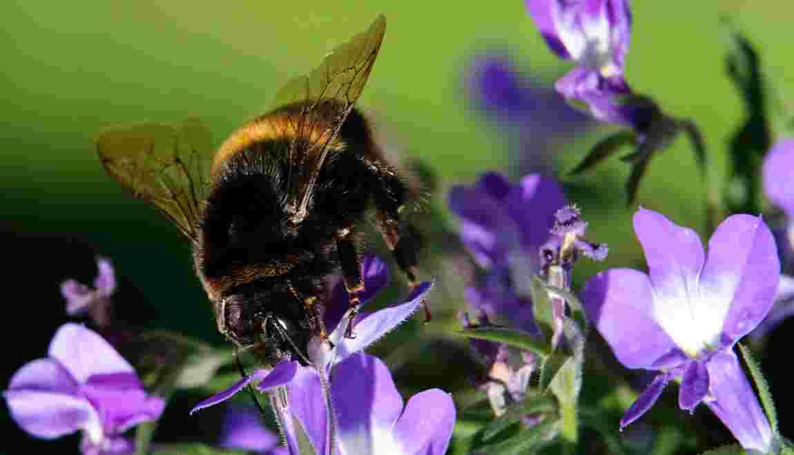 Les bourdons menacés d'extinction par un pesticide néonicotinoïde