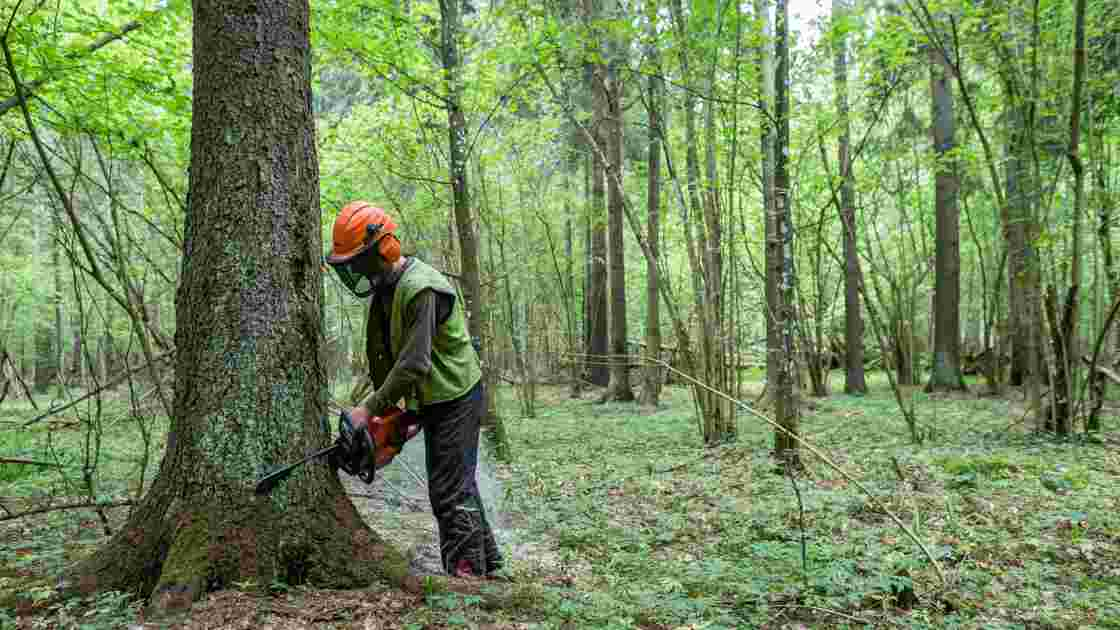 Pologne: Varsovie poursuit des coupes d'arbres à Bialowieza