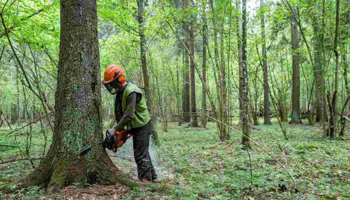 Pologne: Varsovie poursuit des coupes d'arbres à Bialowieza